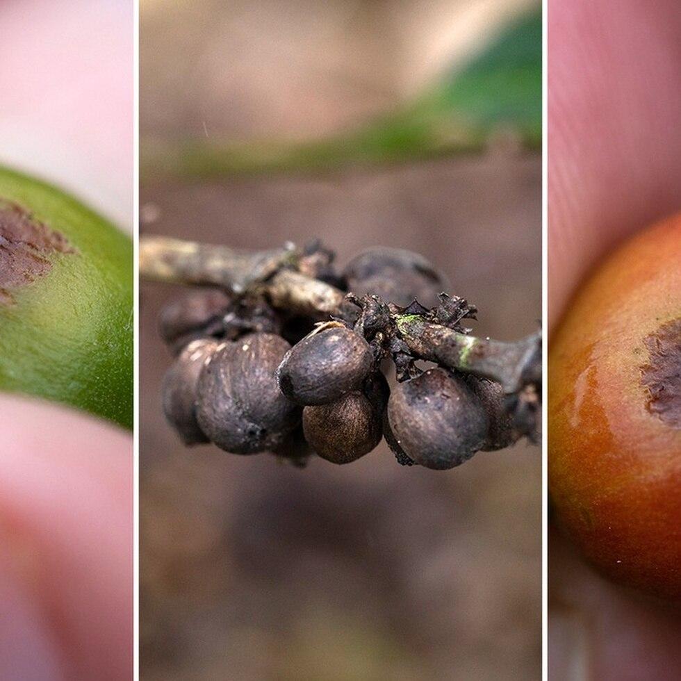 Antracnosis, el hongo que está dañando el café en Puerto Rico