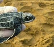 El grupo 7 Quillas trabaja incansablemente en protección de las tortugas