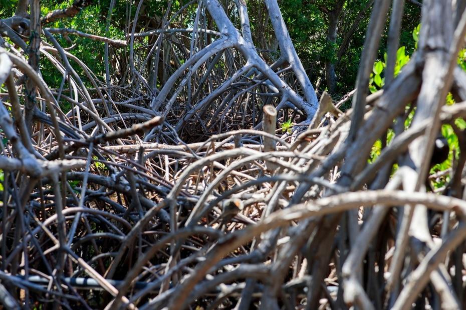 La marina trabaja en un programa para la conservación de mangles junto a The Ocean Foundation y el Departamento de Recursos Naturales.