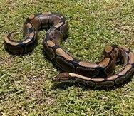 Imagen de archivo de una serpiente pitón capturada en Puerto Rico.