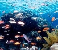 La Gran Barrera comprende 3,000 arrecifes y más de 1,000 islas, que se extienden a lo largo de 2,000 kilómetros, y alberga 400 tipos de coral, 1,500 especies de peces y 4,000 variedades de moluscos. (Archivo)