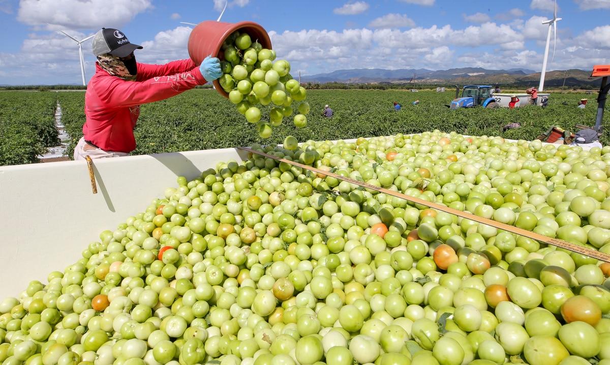 La finca de tomates Gargiulo en Santa Isabel cierra operaciones