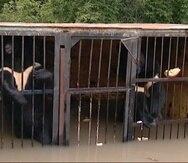 Uno de los osos del zoológico Isla Verde en Ussuriysk se ahogó al desbordarse el domingo un río debido a un aluvión que causó el tifón Goni.