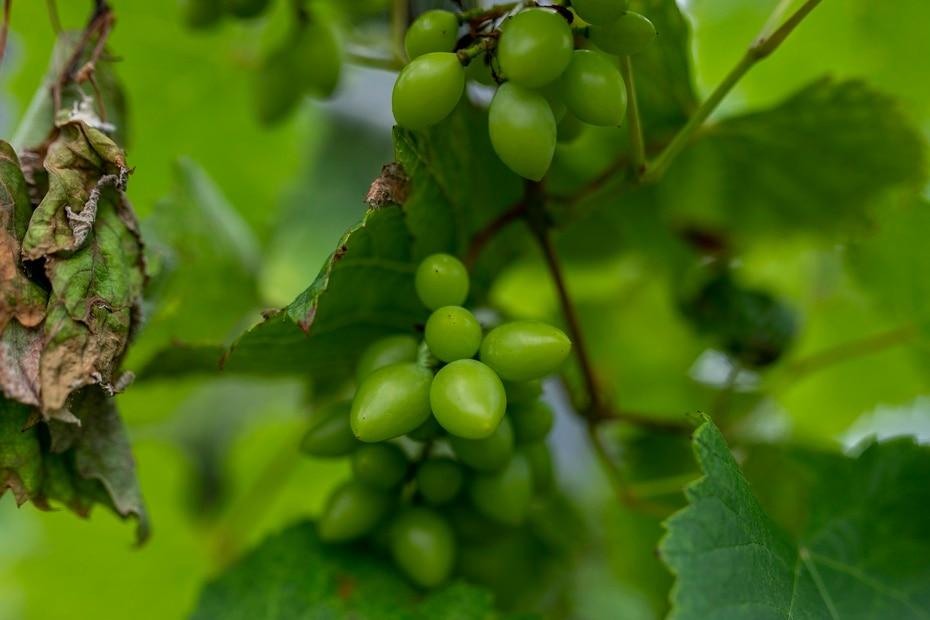 Proyecto Uvas de Puerto Rico cuenta con nueve variedades de uvas, de las 40 existentes: negras, azules y blancas.