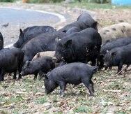 Los cerdos vietnamitas han invadido comunidades en múltiples municipios de Puerto Rico.