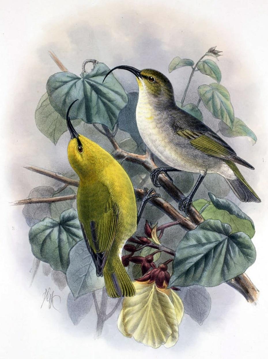Kauaʻi nukupuʻu, otra especie de pájaro mielero que vivía en la isla Kaua'i, comía insectos que vivían en la corteza de los árboles.