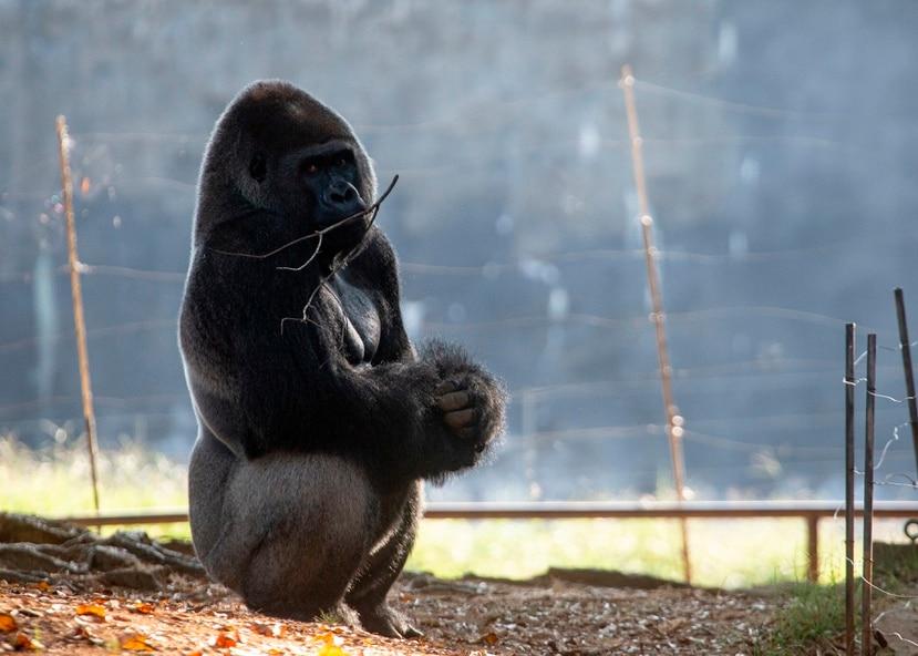 Un gorila oriental de las tierras bajas en su hábitat del Zoológico de Atlanta.