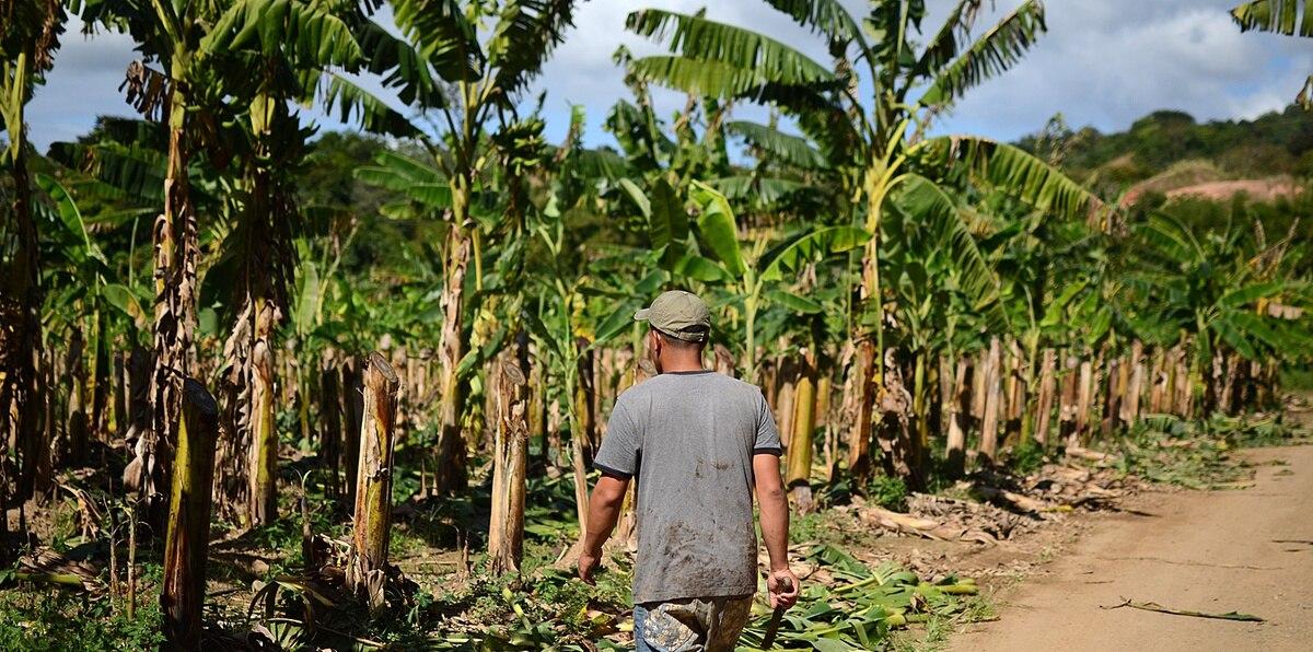 En los últimos años, ha sido un gran reto para el sector agrícola mantenerse a flote, habiendo tenido pérdidas millonarias en cosechas como las de plátano ($72 millones), guineo ($19 millones) y café ($18 millones) tras el paso del huracán María en 2017. A la fecha, las siembras de plátano y guineo han tenido una recuperación positiva.