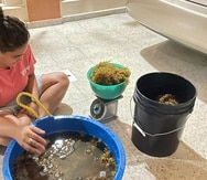 Para la creación de los prototipos de biofertilizante, los estudiantes recogieron sargazo, principalmente algas pardas, de las costas de Punta Santiago en Humacao.