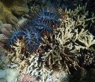 La estrella de mar corona de espinas o acantáster púrpura es uno de los pocos animales que pueden comer corales, en los que basa su dieta. (Yuna Zayasu / Instituto de Ciencia y Tecnología de Okinawa)