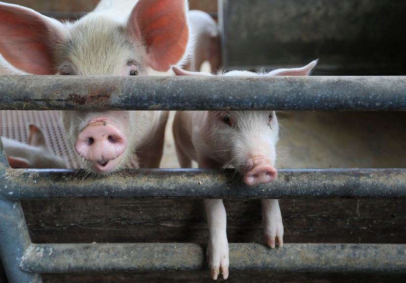 El secretario de Agricultura indicó que no hay cura para la enfermedad y el único remedio es sacrificar al animal.