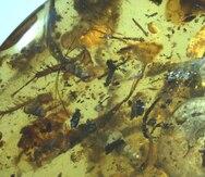 Descubren una antigua criatura marina fosilizada en ámbar