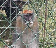 Mono patas capturado en Rincón.