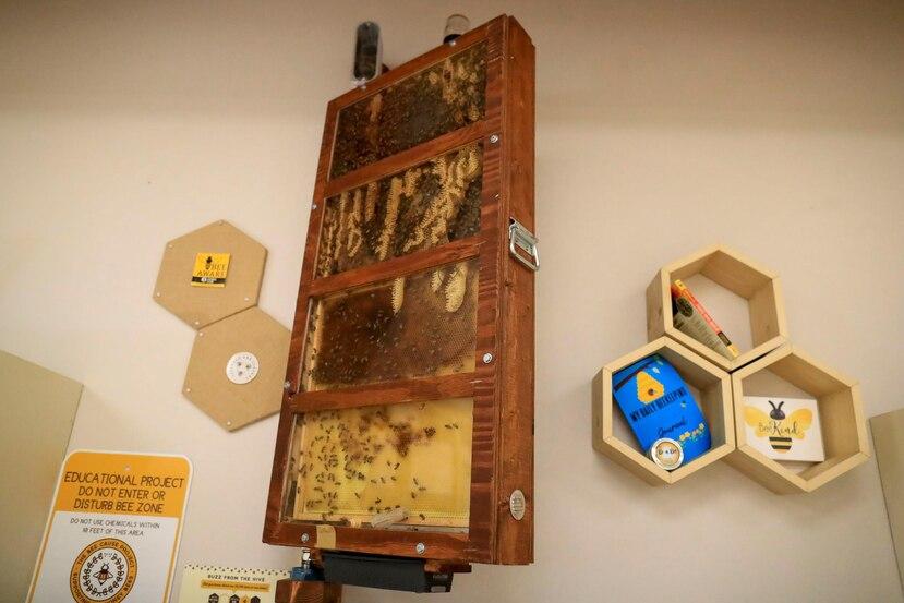 Uno de los salones de Ciencia de Saint John's School está equipado con un observatorio de abejas, una caja de cristal que permite que estos insectos entren y salgan a través de un hueco en la pared.