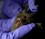 Un investigador toma medidas de un murciélago atrapado en una cueva en el Parque Nacional Sai Yok, en la provincia de Kanchanaburi, al oeste de Bangkok, Tailandia.