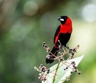 Foto de un ave tángara en Ecuador.