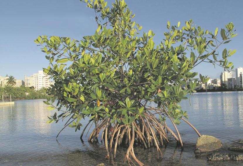 La presencia de sustancias con beneficios a la salud en las raíces del mangle rojo se debe, principalmente, a la evolución de la especie. (Archivo / GFR Media)