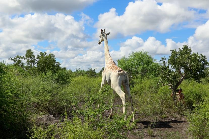 En esta imagen, distribuida por Ishaqbini Community Conservancy, una jirafa macho con un rasgo genético raro llamado leucismo, vista en la reserva de la comunidad ishaqbini, en Kenia, el 8 de noviembre de 2020.