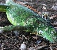 Una iguana paralizada yace sobre la tierra del parque Cherry Creek en Oakland Park, Florida, el miércoles 22 de enero de 2020. (Joe Cavaretta/South Florida Sun-Sentinel vía AP)