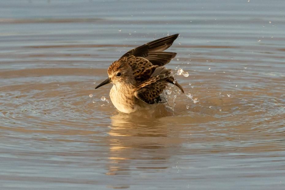 El pájaro playero diminuto suelen ser difíciles de distinguir de otras especias pequeñas de aves costeras.