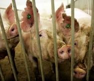 De llegar a Puerto Rico o a Estados Unidos el virus de la peste porcina africana, el bolsillo del consumidor se verá afectado, pues la carne de cerdo local y la americana escasearía, ya que hay que sacrificar a los animales enfermos, y el precio de ese tipo de carne se dispararía.