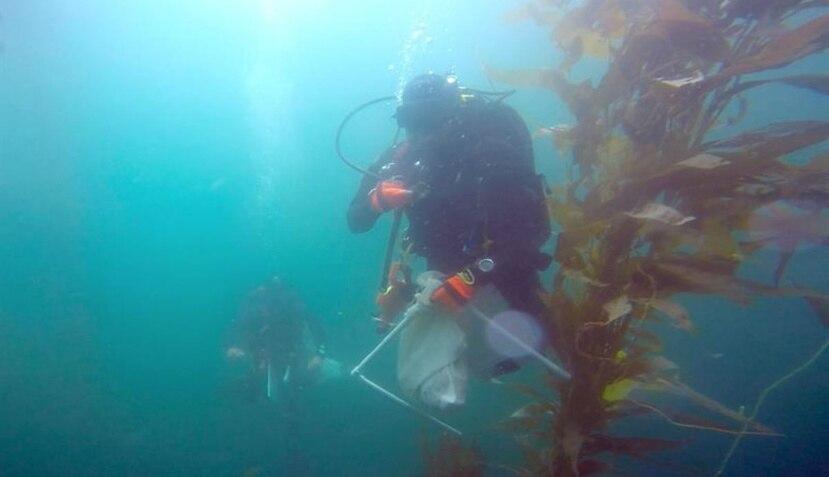 Un buzo coloca sensores en la profundidad del mar de Baja California Sur para monitorear el comportamiento del sargazo. (EFE)