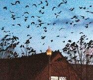 La pandemia y las aves