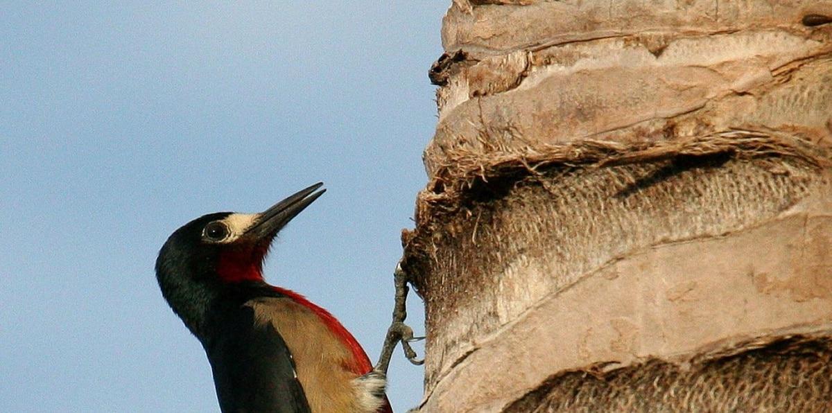El pájaro carpintero de Puerto Rico es una de las especies que se pueden observar en los bosques urbanos.