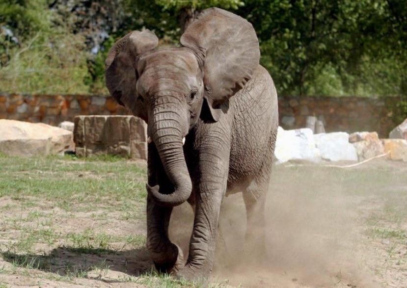 Los elefantes decorados de forma ornamental son una gran atracción en los actos budistas de Sri Lanka. (EFE)