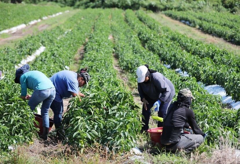 Hay fondos federales dirigidos a atender el impacto económico que tuvo la pandemia en el sector de cultivos tradicionales.