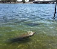 Fotografía sin fecha donde aparecen unos manatíes nadando en las orillas de la bahía de Miami, Florida.
