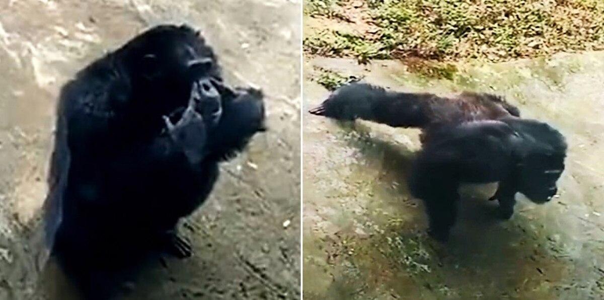 Chimpancé hace push-ups y se convierte en una sensación viral