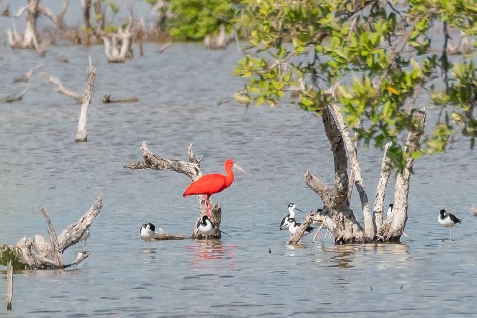 El ibis escarlata vive en varios países de América del Sur y el Caribe, y pese a pertenecer a una extensa familia, su intenso color rojizo es característico e inconfundible.