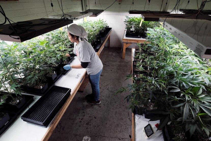 Miembros de la industria local de cannabis afirman que en estos momentos, los pacientes están comprando mayores cantidades  por miedo a que el gobierno recrudezca el toque de queda y se queden sin su dosis de medicación. (GFR Media)