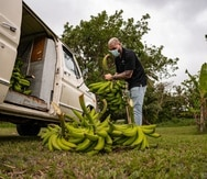 Las cosechas se producirán cada dos meses, según Ron del Barrilito.