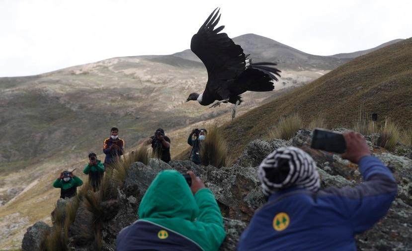 En esta imagen del 23 de febrero de 2021, científicos y periodistas ven la liberación de un cóndor andino por parte de veterinarios bolivianos a las afueras de Choquekhota, Bolivia, como parte de un programa gubernamental de conservación.