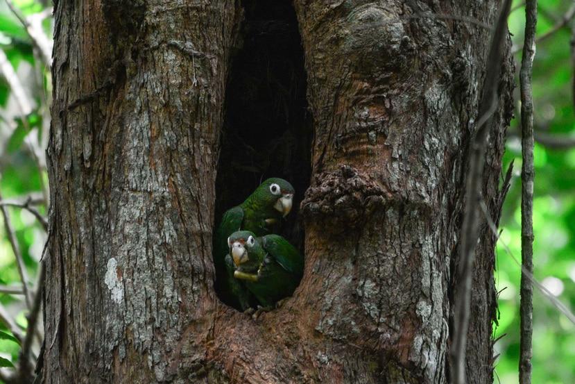 Cotorras liberadas en el pasado hicieron nidos en cavidades naturales en una misma temporada reproductiva y se reportó el nacimiento exitoso de una cotorra boricua en estado silvestre. (Suministrada / DRNA)