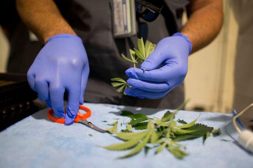 Durante el evento estarán orientando a los pacientes que interesen el tratamiento con cannabis medicinal. (Archivo GFR Media)
