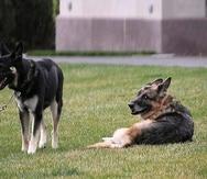 Champ, a la derecha, comparte con Major en el jardín de la Casa Blanca en una foto tomada el 31 de marzo.