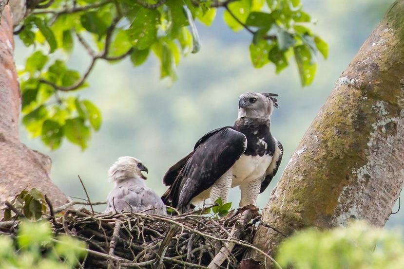 En esta imagen de junio de 2013 cortesía de Carlos Navarro, se ve un ejemplar hembra de águila harpía y su cría en un nido en la provincia del Darién, Panamá.