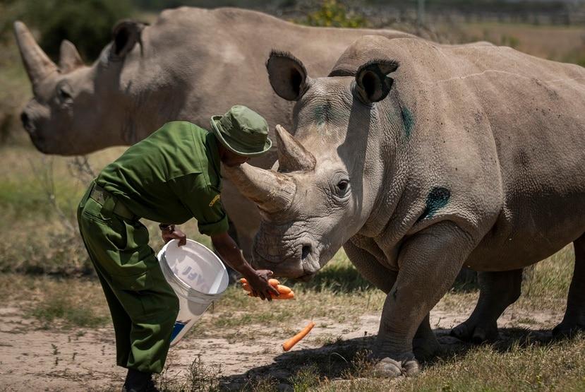 Dos rinocerontes blancos.