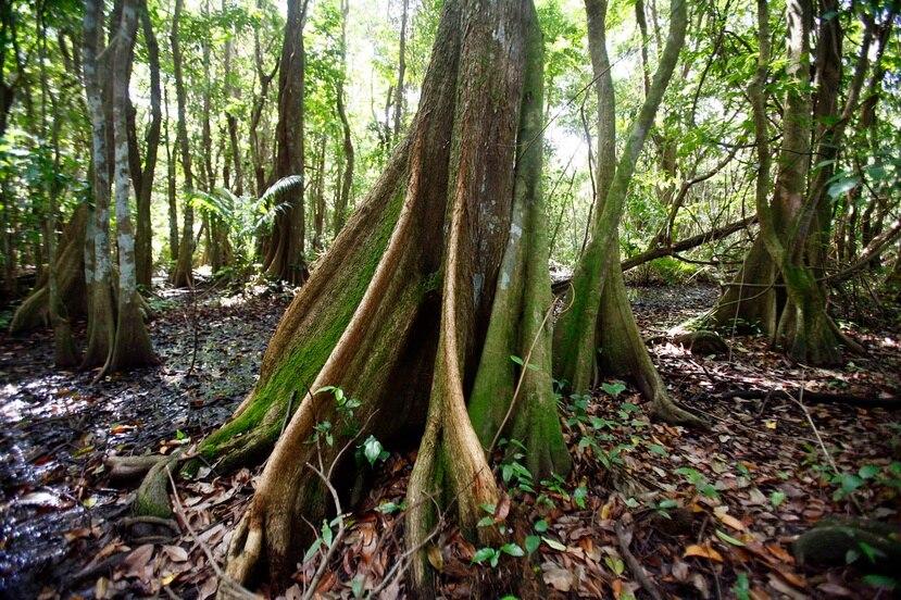 El Bosque de Pterocarpus, ubicado dentro del complejo Palmas del Mar, en Humacao, es un predio de 50.2 acres donde predomina el Pterocarpus Officinalis, un árbol comúnmente conocido como Palo de Pollo.