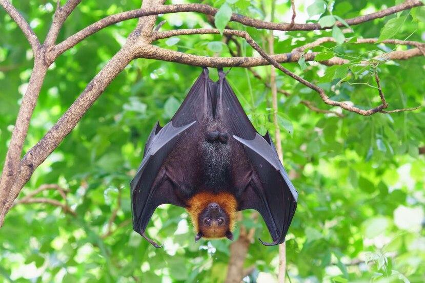 Los murciélagos son de los animales que pueden contagiar más a los virus. (Shutterstock)