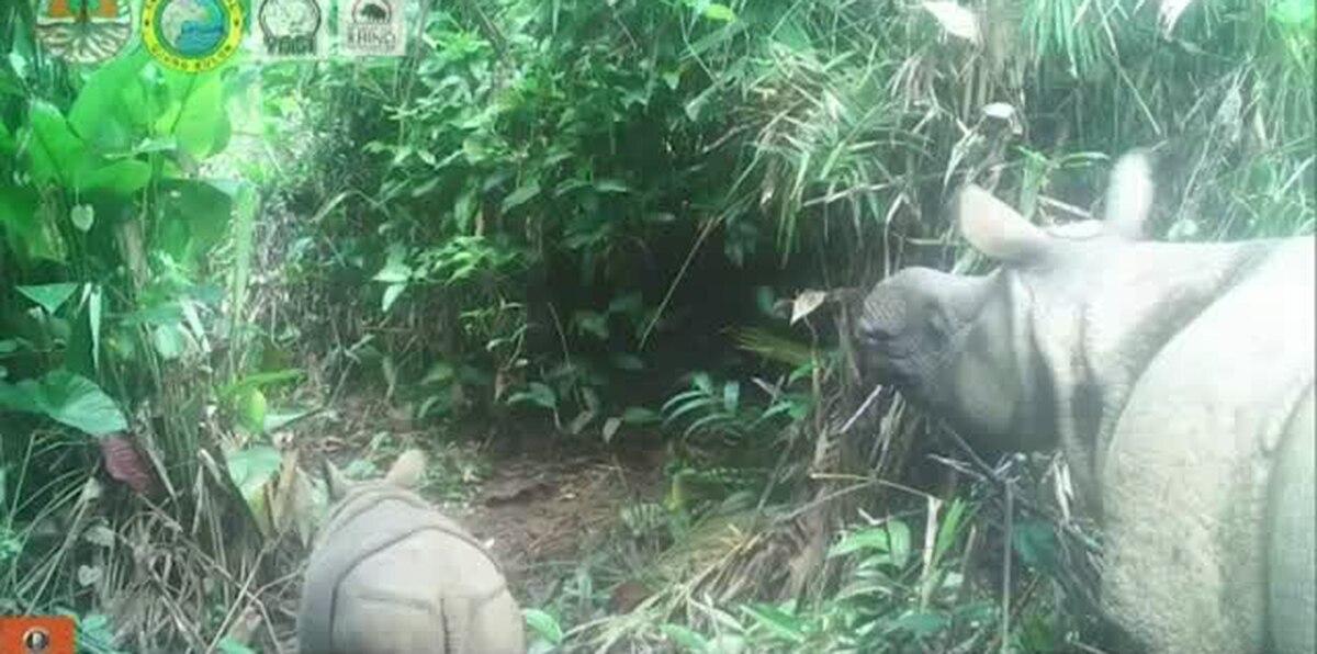 Esperanza para el futuro de uno de los mamíferos más amenazados en el mundo