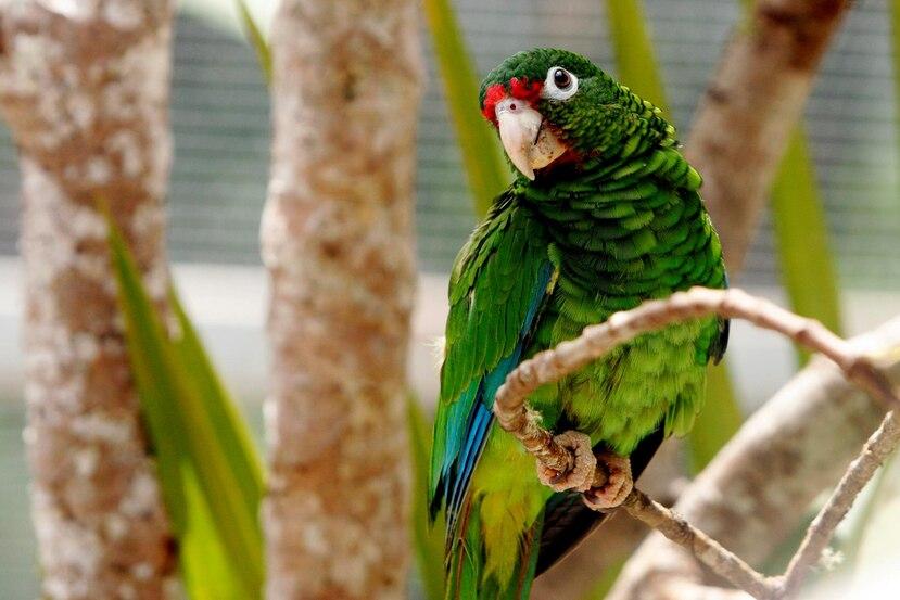 La cotorra puertorriqueña, en peligro de extinción, y la planta Gesneria pauciflora, amenazada, son dos de las especies que resultaron significativamente impactadas por el huracán María en septiembre pasado.