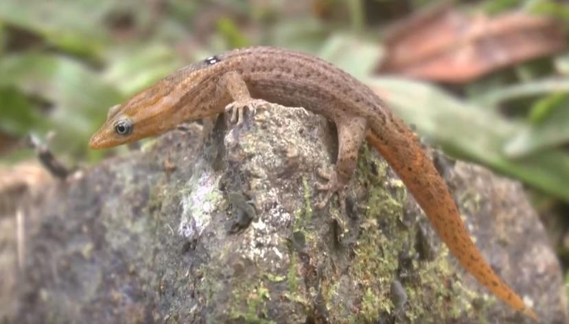 Estos reptiles son mudos y tienen la capacidad de mover independientemente sus ojos.