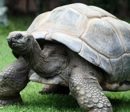 El programa de reproducción en cautiverio, crianza y repatriación de tortugas es uno de los más exitosos desarrollados en el las islas Galápagos. (EFE)