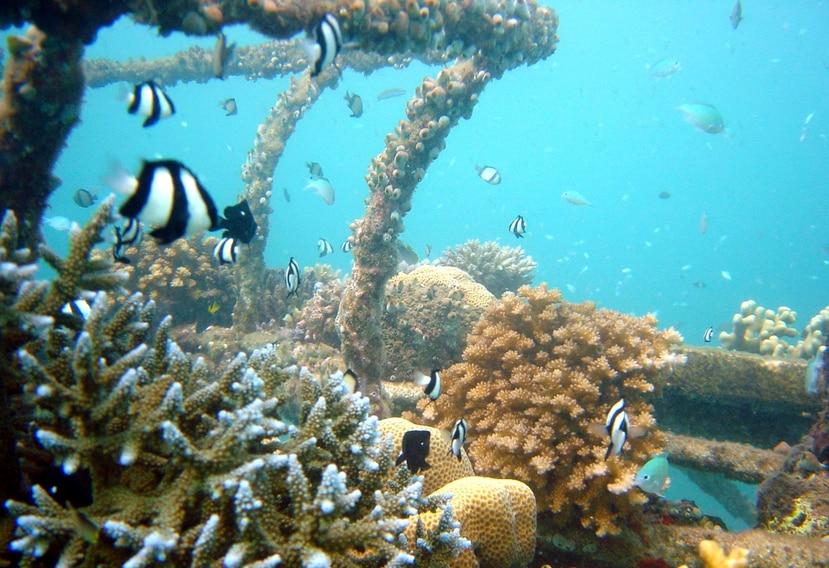 No hay garantías de éxito con los proyectos de arrecifes artificiales. (AP)