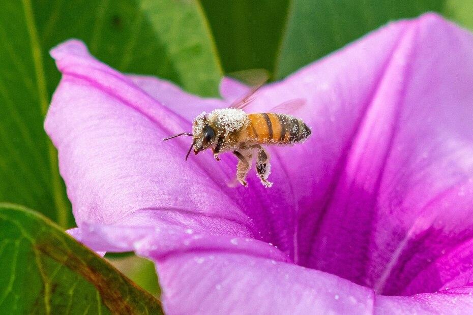 Una abeja puertorriqueña comienza su vuelo tras quedar cubierta por polen de una flor de gloria de la mañana (Ipomoea purpurea) en la desembocadura del río Culebrina.