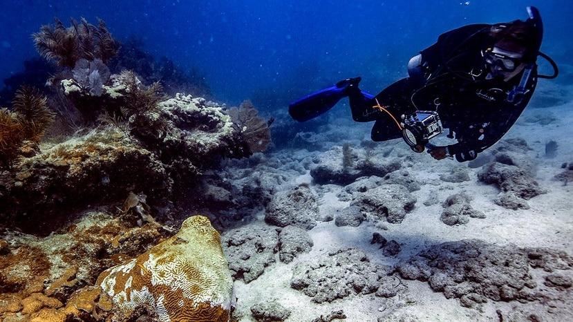 """La """"stony coral tissue-loss disease"""" tiene una tasa de mortalidad de entre 66% y 100%. (Suministrada/NOAA)"""